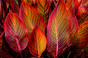 Glowing backlit striped leaves of Canna Phasion plant
