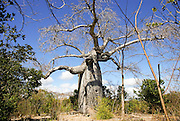 Madagascar, Northern Madagascar, Antsiranana (Diego-Suarez) Adansonia madagascariensis Baobab tree
