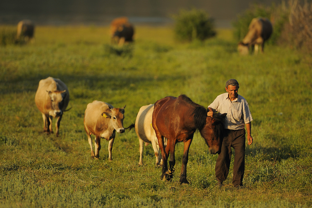 Going home with the cattle in the evening. Lake Prespa National Park, Albania June 2009