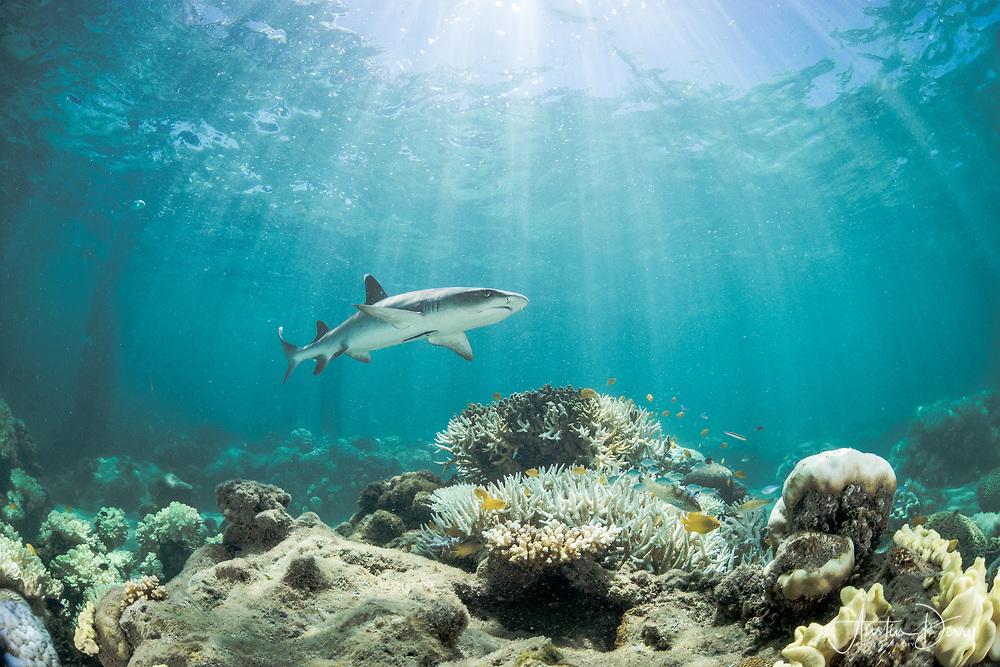 White tip reef shark on the hut