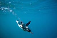 Underwater image of Galapagos Penguin swimming in the Galapagos Islands, Ecuador.