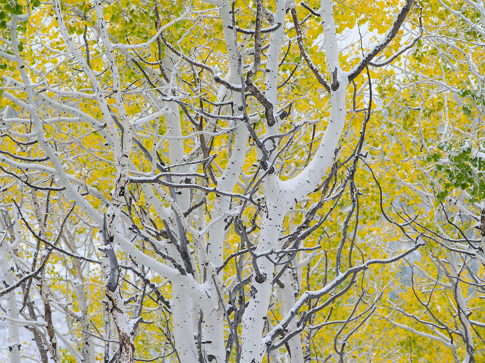 An autumn snowfall in Nebo Canyon signals the transition to winter in Utah's Uinta mountains.
