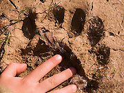 A child's hand indicates the size of a black bear paw print on the ground in Upper Bidwell Park, Chico, Butte County, California, USA.