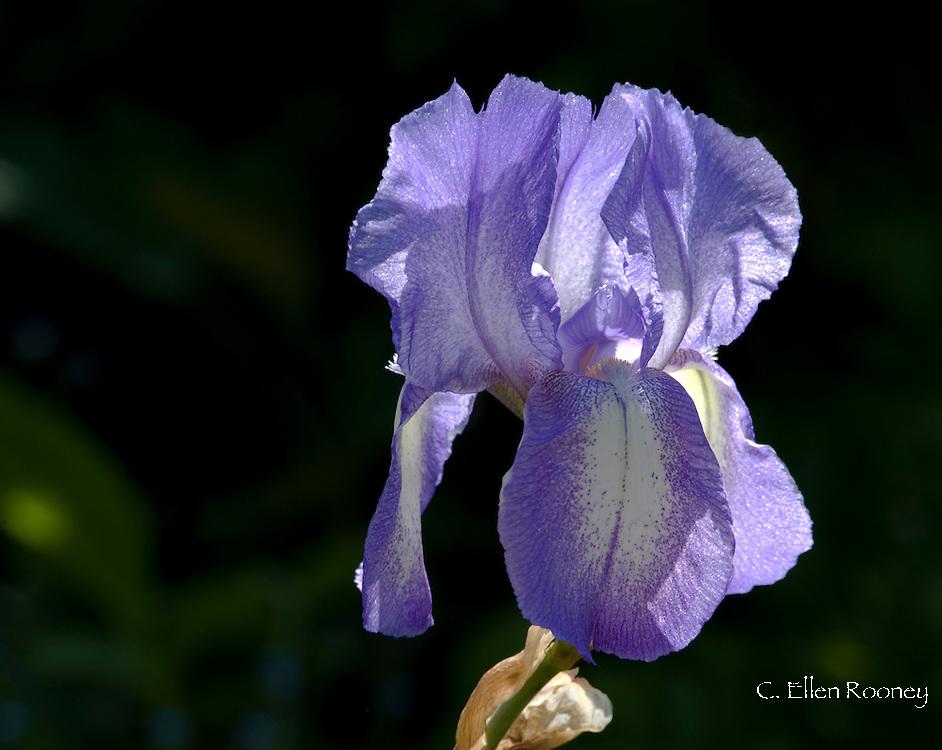 Iris germanica 'Blue Shimmer', a bearded Iris