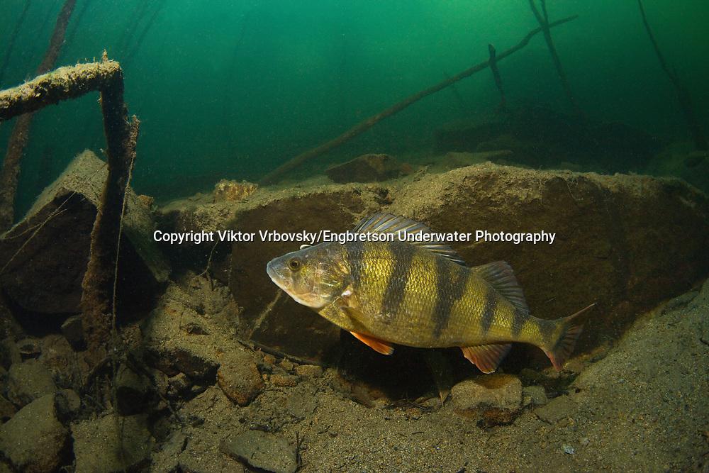 Yellow Perch<br /> <br /> Viktor Vrbovsky/Engbretson Underwater Photography
