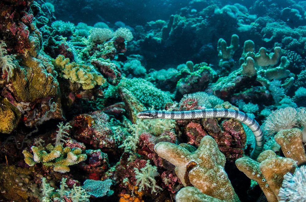 Banded Sea Krait (Laticauda colubrina)<br /> Gili Manuk Island<br /> Banda Sea<br /> Indonesia