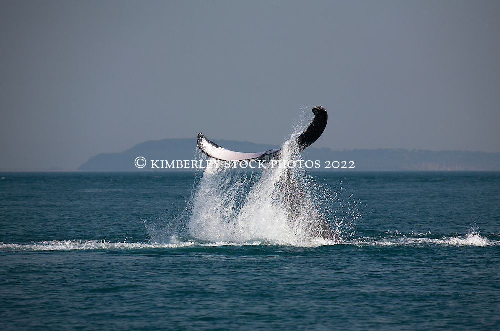 Water drips from a Humpback whale's tail in Camden Sound.