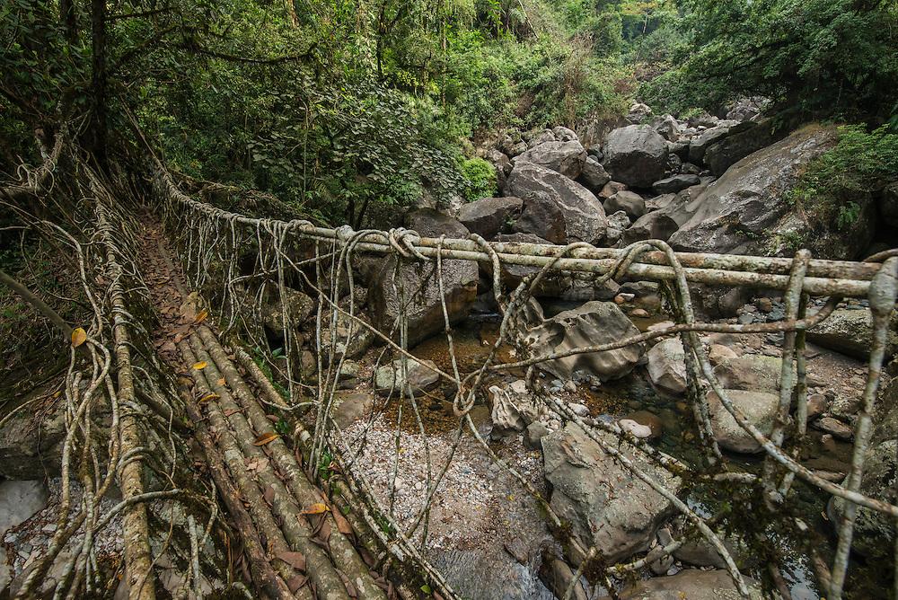 Living bridge or Root bridge (Ficus elastica)<br /> Khasi Tribe<br /> Nongriat, Khasi Hills<br /> Meghalaya, ne India<br /> Range: South China, NE India, Burma