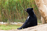 Asian Black Bear sit resting in nature