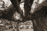 Banyan Tree, Courthouse Square, Lahaina, Maui