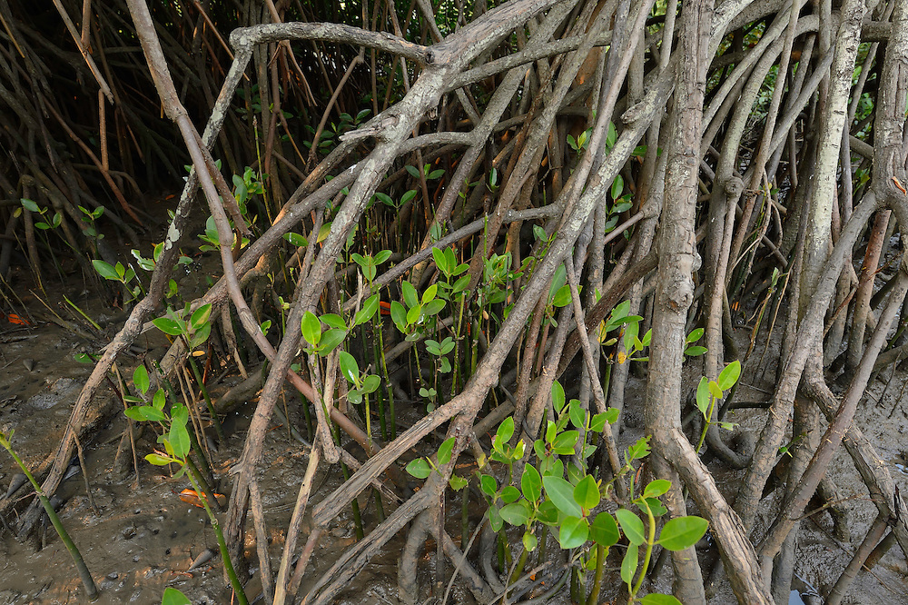 Mangrove, Rhizophora mangle, Pulicat Lake, Tamil Nadu, India