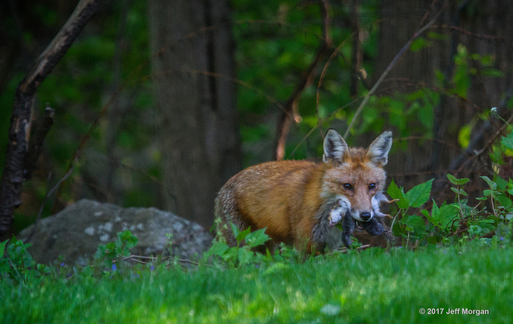 An adult male Red Fox returns from a very successful hunt with a mouth full of Chipmunks and Voles.