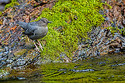 American Dipper - Cinclus mexicanus sitting on a rock on the side of the river with a mossy background