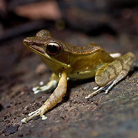 Frog from Hylarana mocquardii species complex, Central Sulawesi