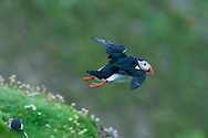 Puffins at Sumburgh, Shetland, Scotland..photo by Alex Hewitt.alex.hewitt@gmail.com.07789871540