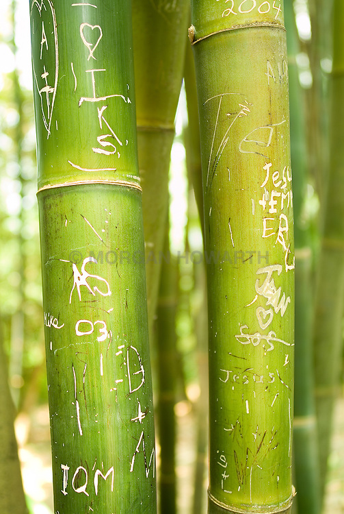 giant timber bamboo