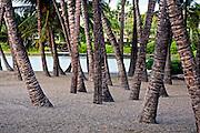 Hawaiian palm trees, nestled on the beach at the Waikoloa Resort, Kohala Coast, Hawaii.