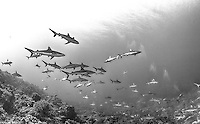 French Polynesia; Fakarava South Passage, Grey reef shark Carcharhinus amblyrhynchos, over 700 are found in the channel