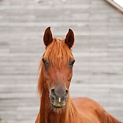 Sorrel Arabian horse in front of barn looking at camera