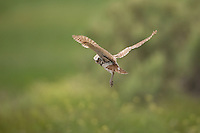 Burrowing Owl hovers in the wind watching the ground for mice.