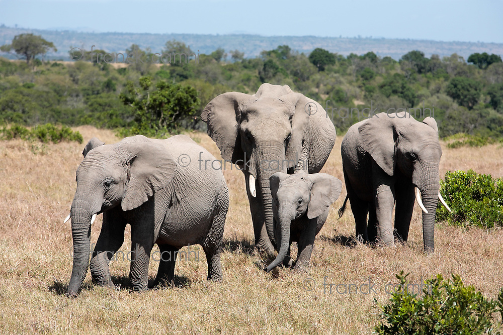 bunch of elephants, Elephantidae, in the bush of the masai reserve in kenya africa
