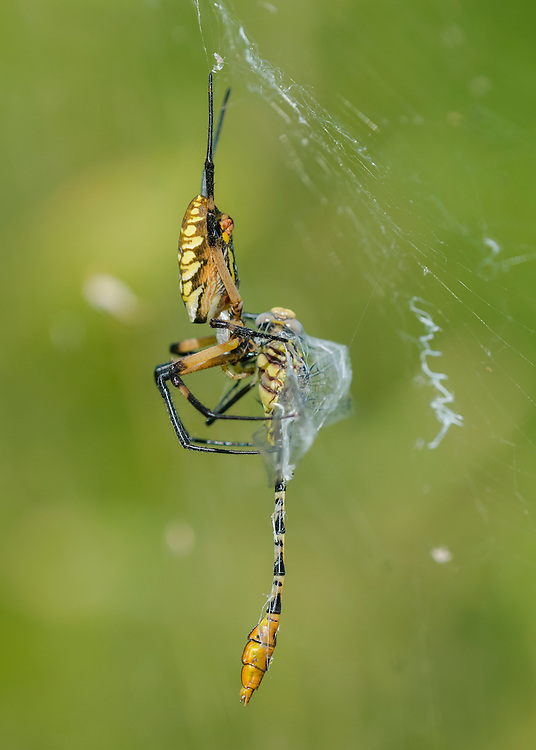 Black &amp; Yellow Garden Spider, Argiope aurantia with captured Flag-tailed Spinyleg Dragonfly, Dromogomphus spoliatus;<br />