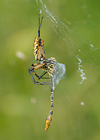 Black &amp; Yellow Garden Spider, Argiope aurantia with captured Flag-tailed Spinyleg Dragonfly, Dromogomphus spoliatus;<br /> Photographer:  Cissy Beasley <br /> Property:  Twin Oaks Ranch / Lon Cartwright Family<br /> Live Oak County