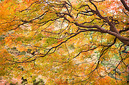 November 21, 2016, Tokyo, Japan: Autumn foliage at Tokyo's Shinjuku Gyoen, a botanical garden in the center of the city that dates back to the 19th century. Formerly part of the Imperial Palace Outer Garden grounds, this 144 acre garden with over 20,00 trees used to be exclusively reserved for Japan's Imperial family. In 1949 it was opened to the public and is now classified as a national garden. Photo by Torin Boyd.