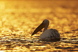 Great White Pelican (Pelecanus onocrotalus) in Lake Naivasha, Kenya