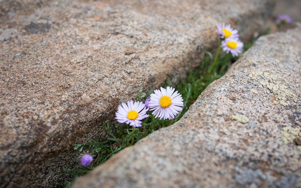 A few very small flowers with the courage to grow in the crack of a rock.