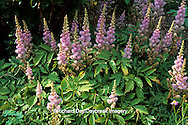 63821-01814 Pink astilbe (Astilbe Sp.)    IL