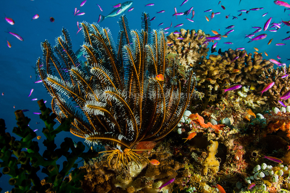 Feather star anchored on Fijian reef structure.