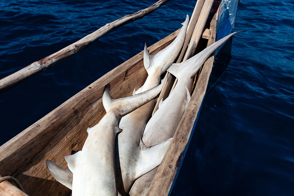A haul of juvenile sharks caught by traditional migrant fishermen far offshore, west of the Barren Isles, Madagascar.  As recently as ten years traditional fishermen still caught sharks so large that they could not fit them in their sailing pirogues – adult tiger, hammerhead and great whites that measured 5 m long.  Now, even in these remote and deep waters, it is rare for fishermen to catch large adult sharks.  But they can still earn money from juvenile sharks by selling the small fins and the salted meat.  Poverty here is such that this is still a meaningful income for them and so they continue to fish for sharks, chasing an ever dwindling catch.