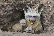 Bat-eared fox<br /> Otocyon megalotis<br /> With 13 day old pup(s) at den<br /> Masai Mara Reserve, Kenya