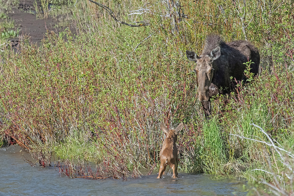 After dozens of attempts, the tiny calf reaches the shore as his mother looks on.