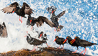 African Black Oystercatchers taking off, Malgas Ilsand, Western Cape, South Africa