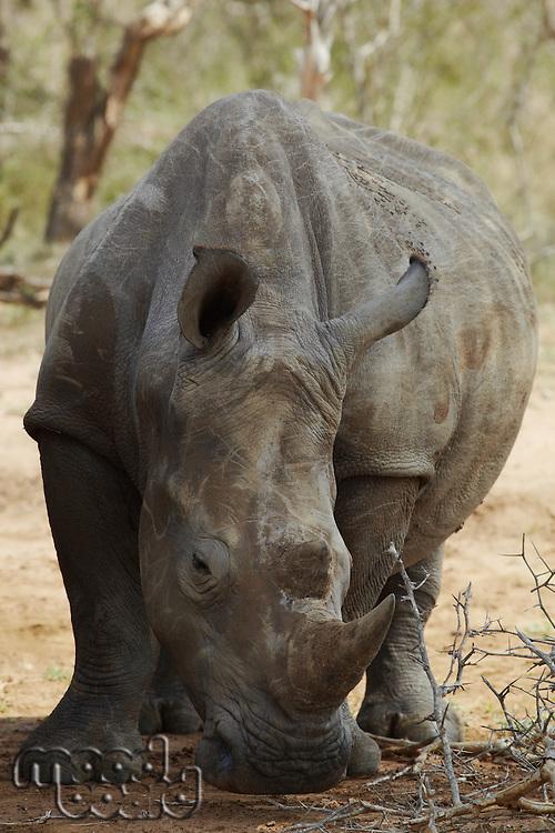 Rhinoceros noses ground