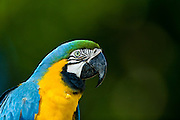 Nova Lima_MG, Brasil...Detalhe da Arara-de-barriga-amarela (Ara ararauna) do condominio Passargada...The Blue-and-yellow Macaw (Ara ararauna) in the Passargada condominiumm...Foto: JOAO MARCOS ROSA /  NITRO