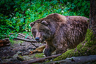 Brown bear in the temperate rainforest.