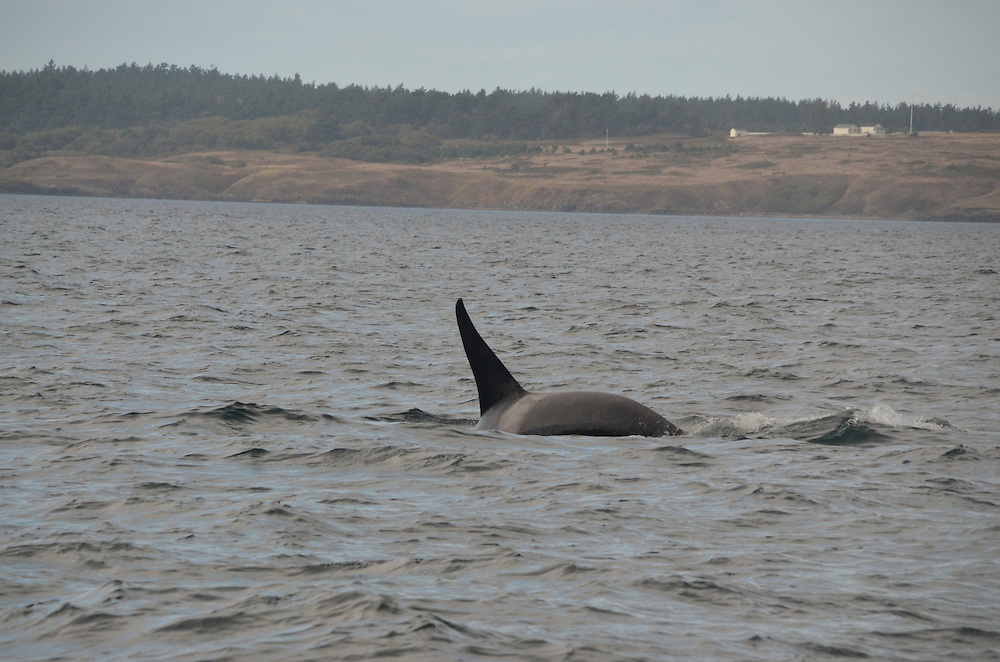 Orca Whale (Orcinus orca), Haro Strait, San Juan Islands, Washington, US