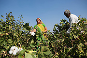 Vallabh and his wife, Prabhaben, harvesting cotton on their farm in Ahmedabad, India.<br /> <br /> They have recently installed some drip irrigation on their farm and they are seeing some real improvements in their cotton plants but they are also saving water and time.