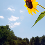 Sunflowers under a blue sky in Pittsborro, NC