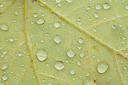 Raindrops on autumn leaf, fall, Eno River State Park, North Carolina