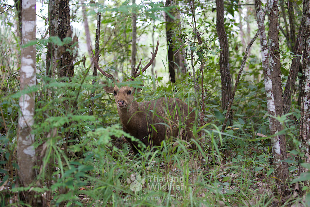 Hog Deer (Hyelaphus porcinus AKA Axis porcinus).  Part of a reintroduction of the species in the Phu Khieo Wildlife Sanctuary, Thailand in 1983, the species is now gaining establishment with over 200 head counted in 2014.