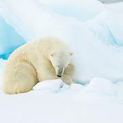 Storoya, Svalbard, NO<br /> IUCN: Vulnerable<br /> Undisturbed by our approach, this Polar bear reminded me of the importance of rest within the frenzy of life&rsquo;s cycle. Cuddled up under his own fur blanket, I wondered if he shared the feeling of peacefulness that we, at times, feel cuddled up in the warmth of our own beds.