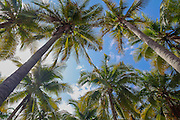 High angle view of mature Fan Palms with blue sky background. Photographed in El Salvador