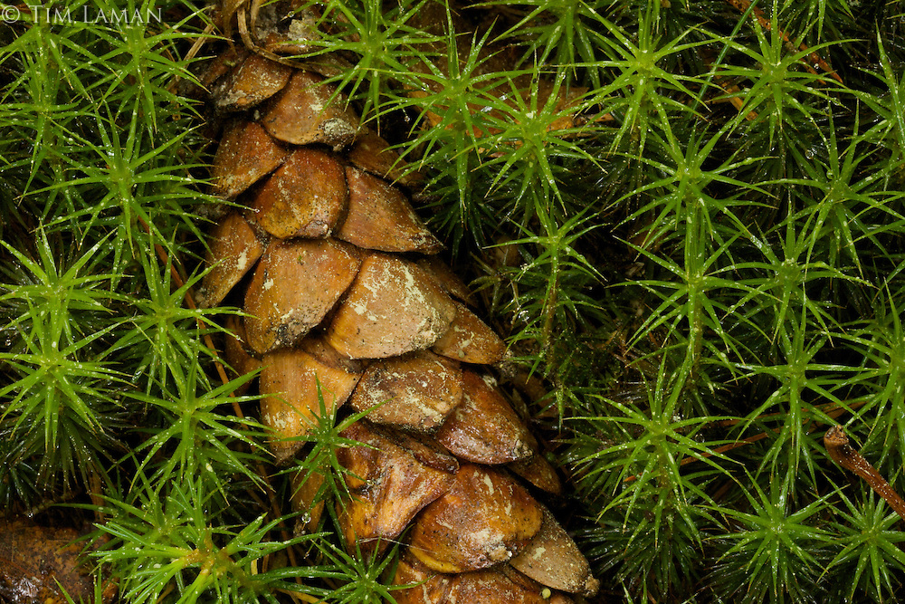 """Cone and Club Mosses"".A cone from a white pine lies amidst club mosses.  Spring views at Walden Pond"