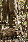 Mushrooms growing on the side of a bald cypress tree at Congaree National Park, the largest intact expanse of old growth bottomland hardwood forest remaining in the southeastern United States in Columbia, South Carolina.