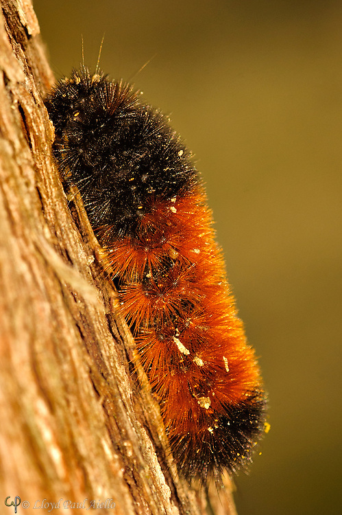 An Isabella Tiger Moth (Pyrrharctia isabella) caterpillar searches the bark of a Northern White Cedar (Thuja occidentalis) in northern Maine for a suitable location in which to pass the winter.  Found throughout North America except in most northern Canada, they will usually settle under a section of tree bark, a rock, or a log where they produce a natural organic antifreeze that permits then to survive cold temperatures as extreme as -90oF!<br /> <br /> The caterpillars have many names: Wooly Worm, Fuzzy Bear, Hedgehog Caterpillar and Woolly Bear. The timing of their travels and their distinctive banded coloration has led to a robust folklore of their being an established predictor of the severity of the winter to come. <br /> <br />  In fact, the coloration of the Woolly Bear is a result of its age, species and diet.   A more favorable growing season for the caterpillar results in a narrower red-orange middle band.  As the caterpillars molt, their colors change, acquiring more black and less red.