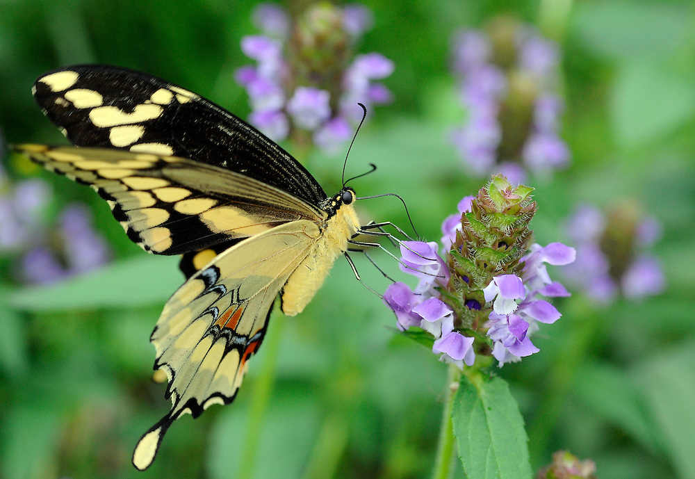 Giant swallowtail, Ozark forest, Baxter County, Arkansas